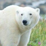 一头好奇北极熊的特写镜头画象 免版税图库摄影