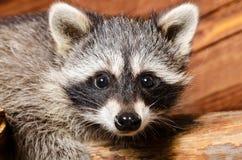 一头好奇浣熊的画象 免版税库存照片