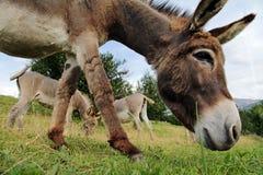 一头好奇英俊的幼小驴 免版税库存照片