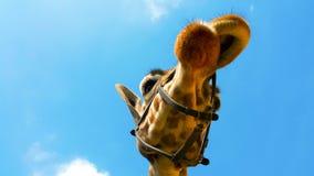 一头好奇长颈鹿(长颈鹿camelopardalis)的画象采取为 免版税库存照片