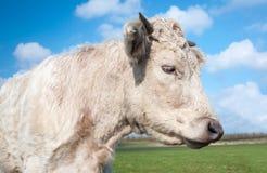 一头好的白色母牛的斜向一边的画象 免版税库存照片
