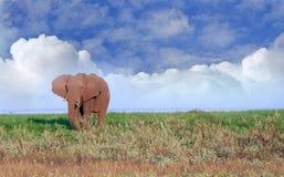 一头孤立大象在绿色豪华的平原站立有多云蓝天背景 免版税库存图片