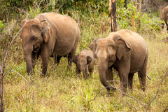 一头小大象小牛在它的母亲后掩藏在Yala国家 免版税图库摄影