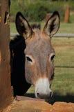 一头小灰色驴在槽枥 免版税库存照片