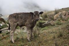 一头小牛在牧场地 库存图片