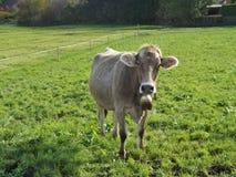 一头小牛的画象在牧场地的,奥地利 免版税库存图片