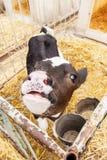 一头小的母牛投入横跨篱芭的头,等待食物 免版税库存图片