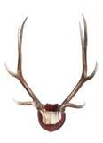 一头满州的马鹿(鹿canadensis xanthopygus)的鹿角 库存图片