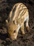 一头幼小公猪猪 免版税库存图片