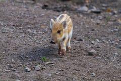 一头幼小公猪猪 图库摄影