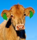 一头幼小根西岛十字架牛奶店小牛 免版税库存图片