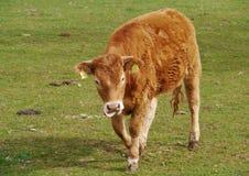 一头幼小母牛在一个草甸在春天 库存图片