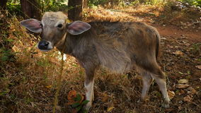 一头幼小母牛在森林里 股票录像