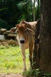 一头幼小母牛 免版税库存照片