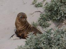 一头幼小海狮 库存图片
