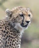 一头幼小的猎豹的面孔的特写镜头向前机敏看 图库摄影