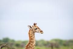一头幼小长颈鹿的旁边外形 免版税库存照片