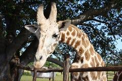 一头幼小长颈鹿的纵向 免版税库存图片