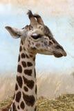 一头幼小长颈鹿的纵向 库存照片