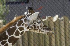 一头幼小长颈鹿的画象与它的舌头的 免版税库存图片