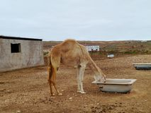 一头幼小阿拉伯骆驼或独峰驼在小牧场 库存照片