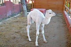 一头幼小骆驼 库存照片