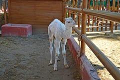 一头幼小骆驼 免版税图库摄影