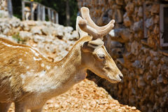 一头幼小鹿的照片与鹿角barhotnymi的 免版税库存照片