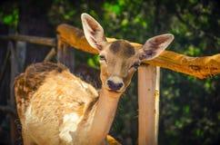 一头幼小鹿的画象在森林里 免版税库存照片