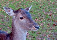 一头幼小鹿的画象 库存照片
