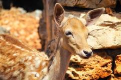 一头幼小鹿的画象 免版税图库摄影