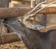 一头幼小鹿的头 免版税库存照片