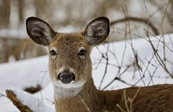 一头强的野生鹿的美丽的画象在多雪的森林里 免版税库存图片