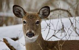 一头强的野生鹿的美丽的画象在多雪的森林里 免版税图库摄影