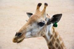 一头微笑的长颈鹿的特写镜头画象在沙子背景的 免版税库存图片