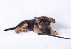 一年轻德国牧羊犬小狗放下的图象 库存图片