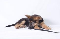 一年轻德国牧羊犬小狗放下的图象 免版税图库摄影