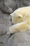 懒惰北极熊 免版税库存图片