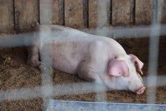 一头懒惰猪在谷仓 库存图片