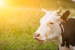 一头成人母牛的画象 免版税库存照片