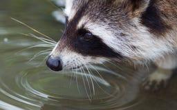 一头成人浣熊的特写镜头画象 免版税库存照片