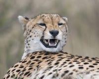 一头成人猎豹的咆哮面孔的特写镜头视图休息在一个草覆盖的土墩顶部的 库存图片