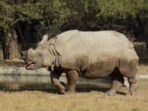 一头有角的犀牛在动物园里 免版税库存照片