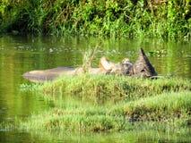 一头有角的犀牛在河 库存图片