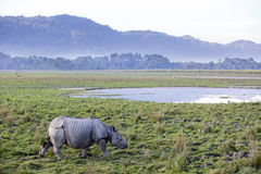 一头有角的犀牛 库存照片