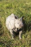一头有角的犀牛 图库摄影