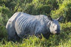 一头有角的犀牛 免版税库存图片