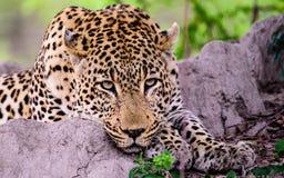 一头轻松的豹子的顶头射击完全地轻松自在地 库存图片