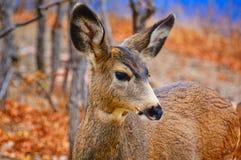 一头柔和的幼小鹿 免版税库存图片