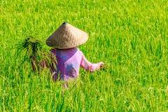 一件桃红色夹克和一个传统圆锥形帽子的妇女收集在稻田的米,巴厘岛,印度尼西亚 免版税库存照片